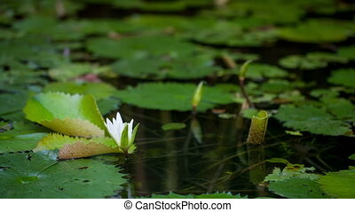 Timelapse of water lily blooming - Timelapse close-up shot...