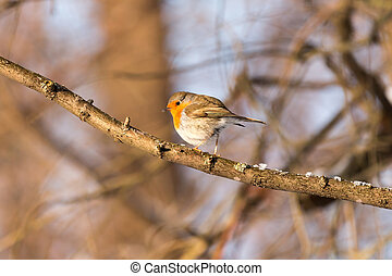 European robin Erithacus rubecula on the branch