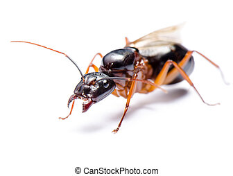 Black Carpenter Ant Camponotus pennsylvanicus - Close up of...