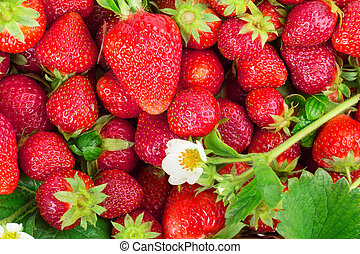 strawberries - ripe strawberries isolated on white...