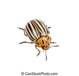 Colorado, papa, escarabajo,