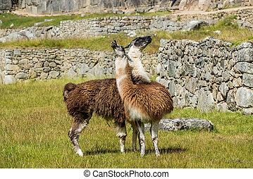 Machu, peruwiański, lamy,  Cuzco, Andy,  peru,  Picchu, gruzy