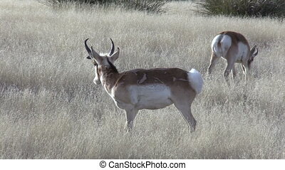 Pronghorn Antelope Bucks - pronghorn antelope bucks on the...