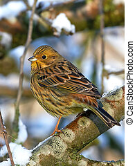 Yellowhammer Emberiza citrinella - Yellowhammer resting on a...