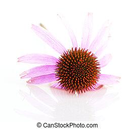 Echinacea isolated on white background