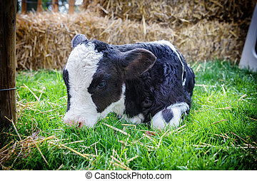 Cute little calf laying in grass