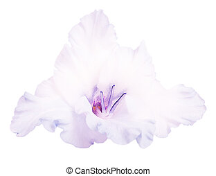 gladiolo, flor,