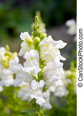 Snapdragon flower - View on a white a white snapdragon...