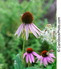 Echinacea among the greenery in the garden