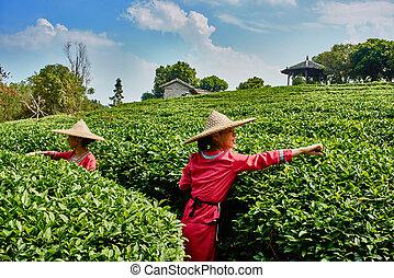 tea harvest Guilin Yangshuo Guangxi China - Guangxi, China -...