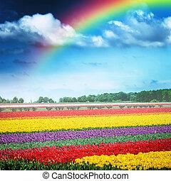 Beautiful rainbow over multicolor tulip field, Holland -...