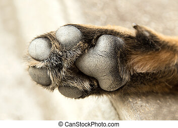 German Shepherd Dog paw close up