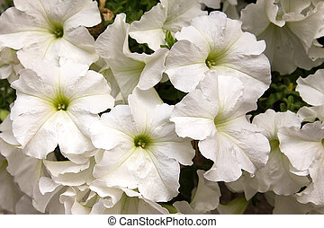 petunia bouquet of flowers close up