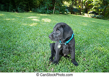 Labrador Puppy on Lawn - Labrador puppy eating food and...