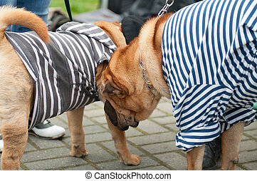 Shar Pei - The Shar Pei, is a breed of dog known for its...