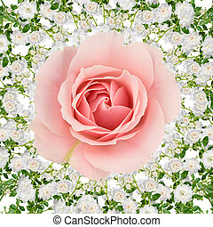 Rose collage on white