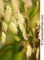 Northern Sea Oats 1 - ornamental grass, sea oats in fall