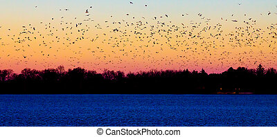 Flock of Birds - Flock of birds flying into the sunset