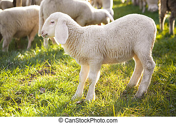 lamb - young lamb on summer lights