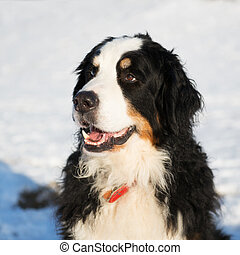 Berner sennenhund in snow - Portrait Berner Sennenhund in...