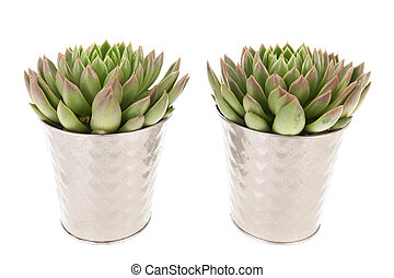 Succulent plants in pot - Succulent plants in silver...