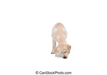 Cute dog standing alone and sniffing on white background