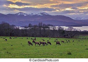 Grazing deers in Killarney national park, Ireland