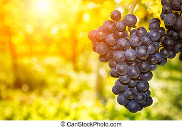 Fresh organic grape on vine branch at sunset