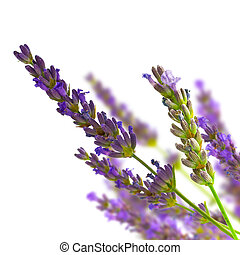 lavender isolated on white - bunch of lavender on blurred...