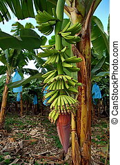 Banana Plantation - Gret Green Banana Plantation in Central...