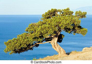 """juniper tree on rock (\""""Novyj Svit\"""" reserve, Crimea,..."""