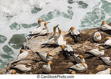 Australasian Gannets in courtship
