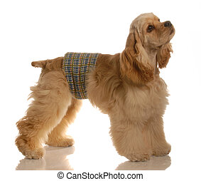 dog training - male american cocker spaniel wearing a pee band