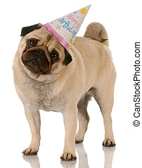 pug standing wearing birthday hat on white background
