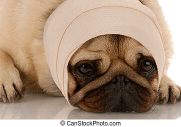 hospitalized dog with a bandage on his head