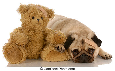 pug and teddy bear with matching medical bandaids