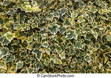 Algerian ivy - close up of Algerian ivy