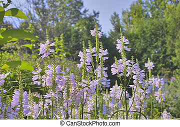 wild north american flower - false dragonhead...