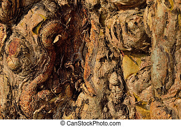 Gnarly wood texture - Gnarl wood texture in old tree at...