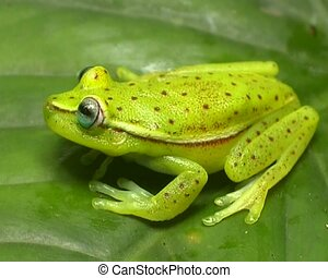 Spotted treefrog Hypsiboas punctatus - On a leaf in the...