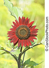 red sunflower,  Helianthus annuus