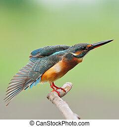 female Common Kingfisher - Colorful Kingfisher bird, female...