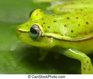 Spotted treefrog (Hypsiboas punctatus) - On a leaf in the...