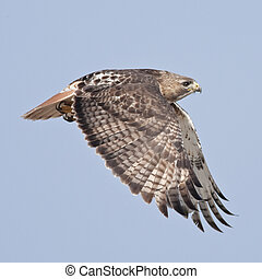 Red-tailed hawk - Red-tailed Hawk, adult, in flight. Buteo...