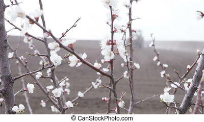 cherry blossoms in front black field