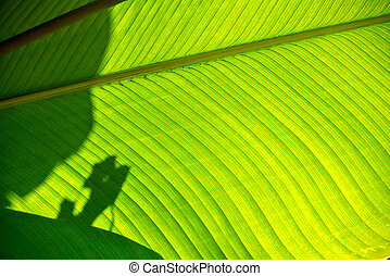 Shadows on a Broad Leaf - Shadows and light on a broad green...