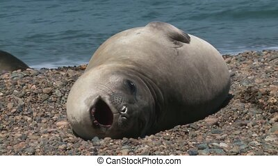 Argentinean fur seal lying on the coastline of Atlantic...