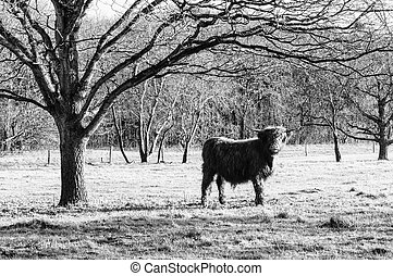 Highland Cow - Famous Scottish cattle; higland cow