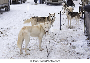 Huskies in Karelia waiting sledrace - On the land of Sampo...