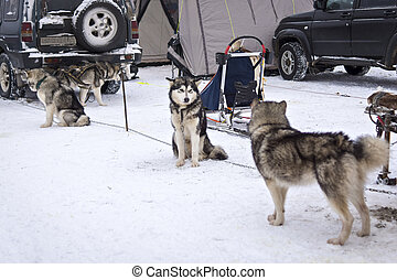 Malamutes waiting for dog race - On the land of Sampo is the...